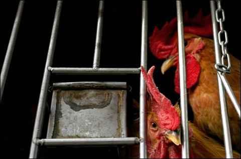 pollo-detenido