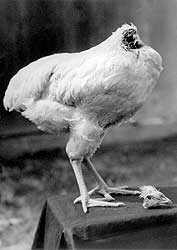 pollo-mike1