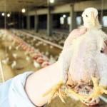 Nace un pollo con tres patas en Cambados - Galicia